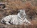 White Tiger Van Vihar Bhopal 2016.jpg