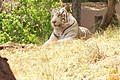 White Tiger at Hyderabad Zoo.jpg
