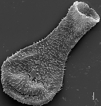 Chitinozoan - Scanning electron micrograph of a late Silurian chitinozoan from the Burgsvik beds showing flask shape