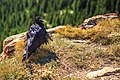 Wilcox Pass trail at the Columbia Icefields…Raven (7897970552).jpg