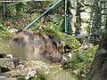 Wild boar - Flickr - KHoffmanDC.jpg