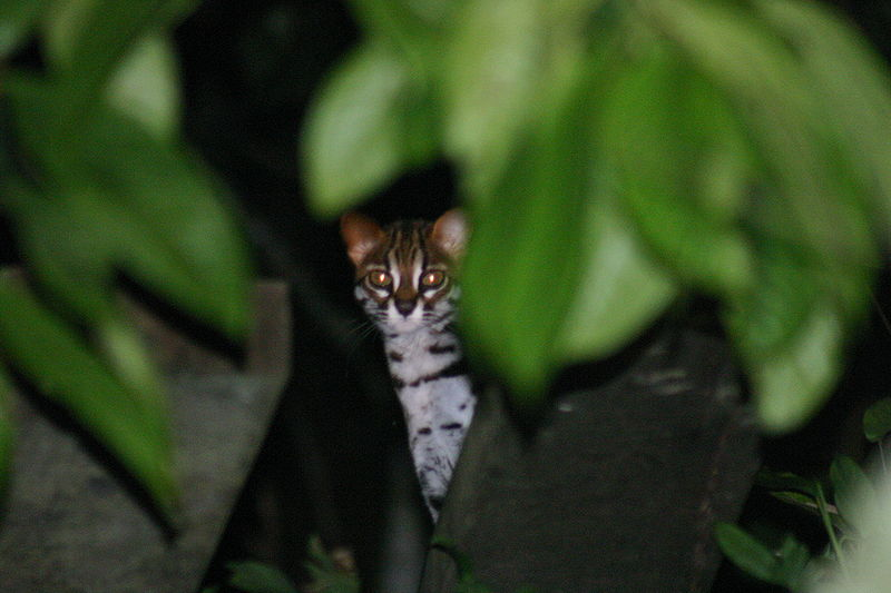 """Wild cat, Kinabatangan, Borneo"" by chem7 - Wild cat, Kinabatangan, Borneo. Licensed under CC BY 2.0 via Wikimedia Commons - https://commons.wikimedia.org/wiki/File:Wild_cat,_Kinabatangan,_Borneo.jpg#/media/File:Wild_cat,_Kinabatangan,_Borneo.jpg"