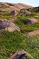 Wildflowers, Kugluktuk, Nunavut (2008).jpg
