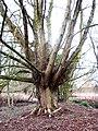 Wingnut bole, Winchester College.jpg