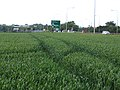 Winter wheat beside the A1, Biggleswade, Beds - geograph.org.uk - 190342.jpg