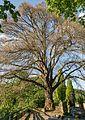 Winterlinde Hessen Bensheim-Auerbach Naturdenkmal 431.2-11.jpg