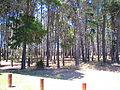 Winthrop pines.JPG