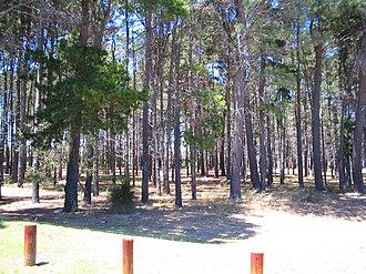 Winthrop, Western Australia - Largest block of original pine trees