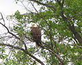 Wisconsins Bald Eagle with Ever-Watchful Eye.jpg