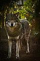 Wolve (5327317855).jpg