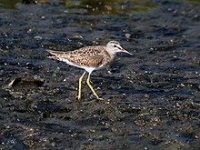 Wood Sandpiper (Non-breeding) at Puri I IMG 9172.jpg