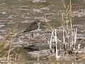 Wood Sandpiper (Tringa glareola) (36835604154).jpg