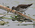 Wood Sandpiper (Tringa glareola) in Hyderabad, AP W IMG 2426.jpg