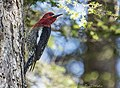 Woodpecker Red-breasted Sapsucker 86 (34416019286).jpg