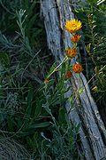 Xerochrysum subundulatum plant.jpg