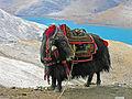 Yak in Tibet-1.jpg
