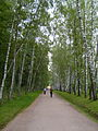 Yasnaya Polyana Avenue of Birch Trees.JPG
