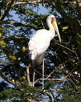 Yellow-billed Stork (Mycteria ibis) standing in a tree looking back, from rear.jpg