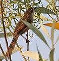 Yellow-eyed Babbler (Chrysomma sinense) in Hyderabad W IMG 5554.jpg