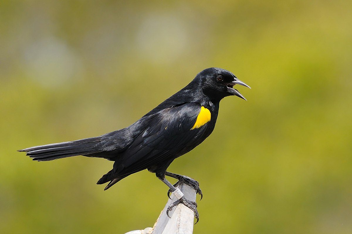 Yellow-shouldered blackbird - Wikipedia