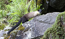 Yellow-throated Marten.jpg