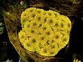 Yellow Chrysanthemum 1.jpg