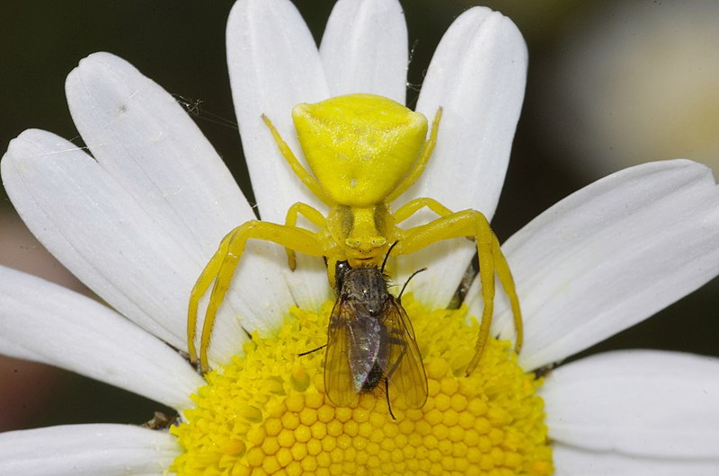 File:Yellow Crab Spider.jpg