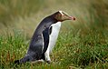 Yellow Eyed Penguin. (Megadyptes antipodes) (9868019174).jpg