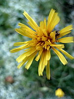 File:Yellow Flower, after snowfall - Flickr - anantal.jpg