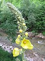 Yellow Wild Flower bosnia 02.JPG