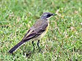 Yellow wagtail (Female- melanogrisea race) at Kolkata I IMG 4681.jpg