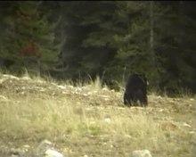Datei:YohoNationalpark-Ursus americanus-Amerikanischer Schwarzbär.ogv