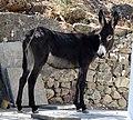 Young mule (39855582561).jpg