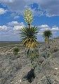 Yucca faxoniana fh1183.30 TX B.jpg