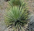 Yucca glauca (soapweed yucca) (Red Canyon overlook, Colorado National Monument, Colorado, USA) 1 (23987774235).jpg