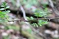 Zanthoxylum americanum CR-1965.jpg