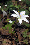 Zephyranthes atamasco & Enemion biternatum.jpg