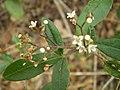 Zieria smithii flower1.JPG
