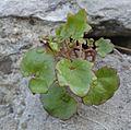 Zimbelkraut (14089806104).jpg
