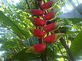 Zingiberales - Heliconia rostrata 1.jpg