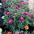 Zinnia-zahara-double-cherry-IMG 8409.jpg