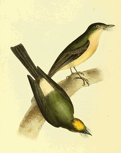 Zoological Illustrations Volume II Plate 116.jpg