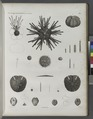 Zoologie. Echinodermes. Oursins (NYPL b14212718-1268610).tiff