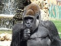Zoosafari Fasano Gorilla 2009 01.jpg