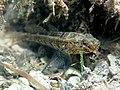 Zosterisessor ophiocephalus Istria2018 3812.jpg