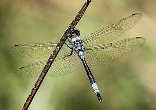 <i>Zygonyx</i> genus of insects