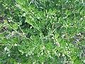 Zygophyllum fabago, SW Ukraine 3.jpg