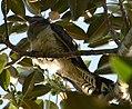 (1)Channel-billed cuckoo-2.jpg