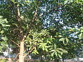 (Couroupita guianensis) at Kakinada Gandhinagar park 03.JPG