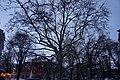 «Платан західний», м. Одеса сквер Пале-Рояль 51-101-5041.jpg